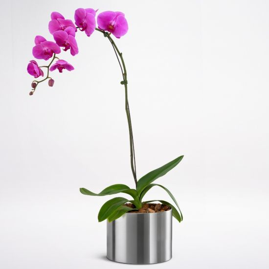 Phalaenopsis Orchid Purple from juneflowers