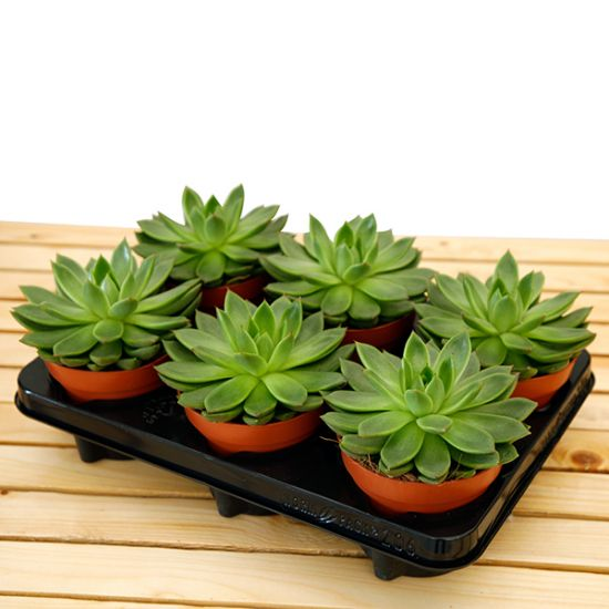 Echeveria in Gift Set Tray